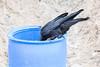 Raven examing garbage can near public docks.