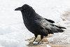 Raven standing on grass amidst snow.