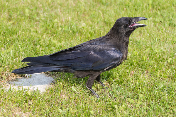 Juvenile raven, beak open, on ground, note pink mouth.