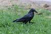 Skinny wet raven in the rain.