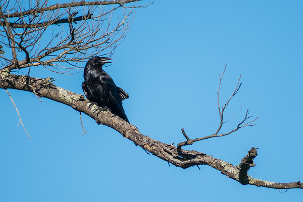 Raven in dead tree at Dark Sky Viewing Area. This is the first picture I have taken of a raven since moving down south.