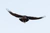 Raven in flight. Wings out.