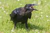 Juvenile raven on the grass. Beak open.