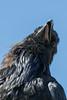 Raven on vent stack. Head shot.