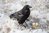 Raven enjoying an egg at the train station in Moosonee.