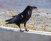 Raven in Moosonee near public docks.