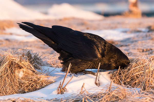 Raven caching an egg in some dead grass.