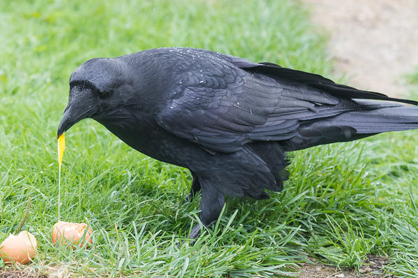 Raven eating an egg. Tail partially out of frame.