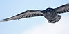 Raven in flight, wings outstretched, left wingtip and half of right wing out of frame