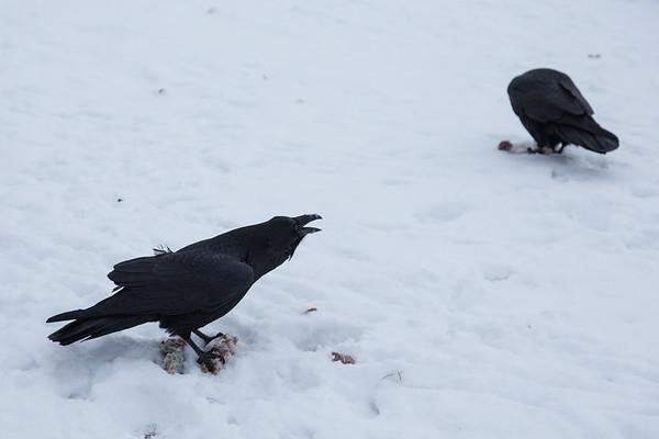 Two ravens enjoying turkey necks in Moosonee.