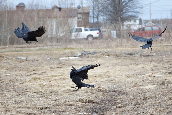 Crows and Ravens often do not get along. Here a Raven (on ground) is repeatedly attacked/mobbed by a group of three or four crows who fly at the raven. The raven sometimes jumps up to attempt to catch the crows.<br /> Note:  this and following shots of this raven and crow interaction are mostly crops so quality is not that high, they are here to illustrate behaviour.