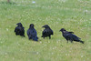 Four ravens on the grass. Three juveniles, adult second from left.