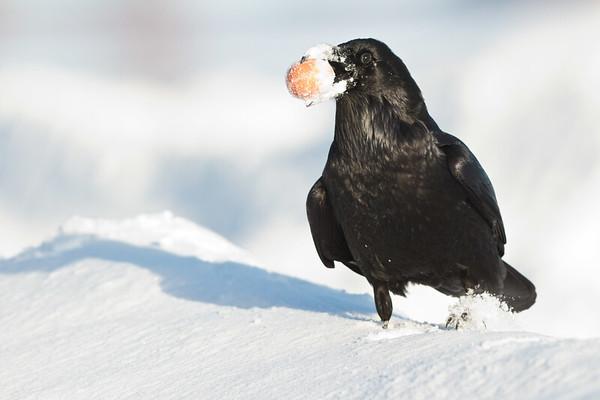Raven, walking on snow, egg in beak.