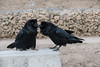 Two ravens at public site in Moosonee. One with nictating membrane over eye.