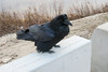 Raven on concrete barrier near public docks site in Moosonee.