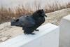 Raven on concrete barrier near public docks site in Moosonee.