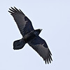 Raven in flight, overhead, wings outstretched