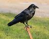 Raven sitting on water shutoff valve in Moosonee.