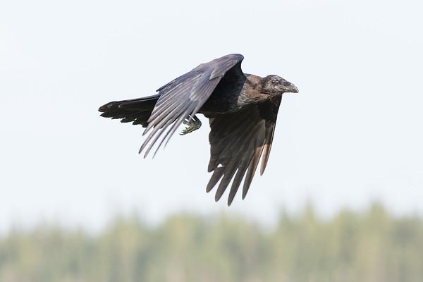 Juvenile raven in flight, wings bent down.