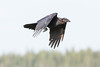 Juvenile raven in flight, wings bent down.