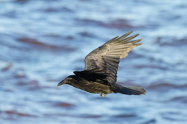 Raven in flight. Over water, wings up.