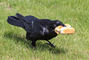 Raven with two hot dog buns in beak.