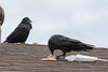 Two ravens on the roof enjoying chicken.