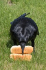 Raven picking up two hot dog buns.