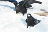 Two ravens eating lard on snow.