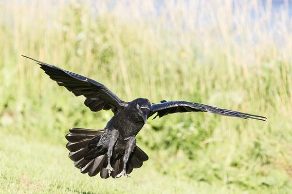 Raven landing, wings out straight, feet down, gaze down.