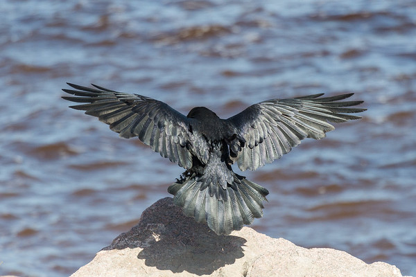 Rear view of Raven landing on a rock along the Moose River.
