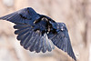 Raven in flight, view from behind, wings bent in middle.