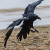 Raven about to land, wings out. Rain.