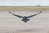 Raven flying away towards river.. Wings out.
