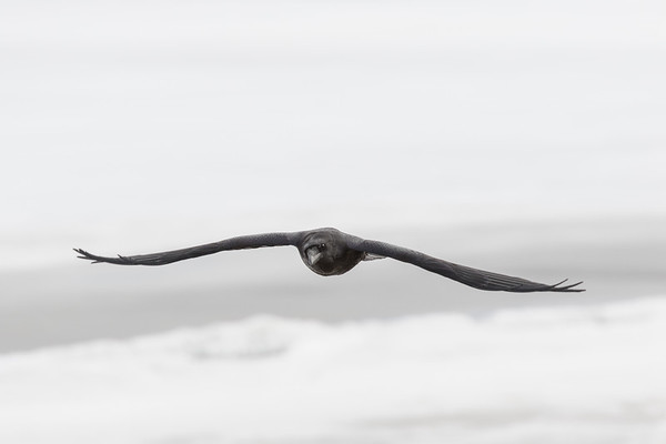 Raven in flight, both wings out.