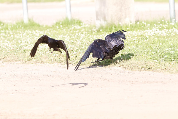 Crow (left and out of focus) harrassing raven on ground.