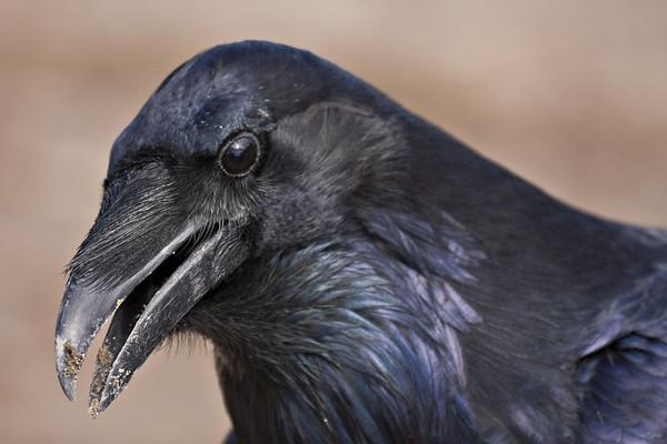 Headshot of raven, beak slightly open