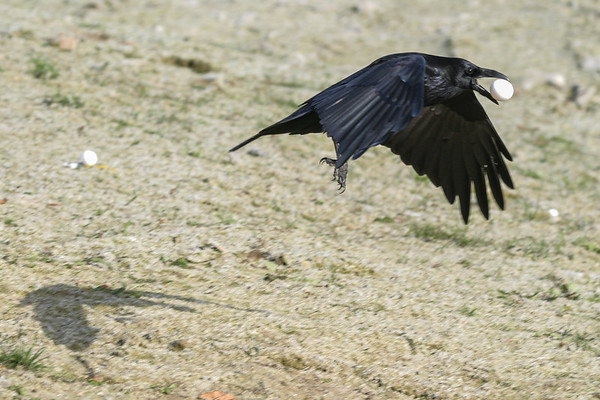 Raven in flight with egg in beak. Wings down, close to ground. 2004 October 23.