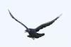 Raven in flight, wings up, beak open.