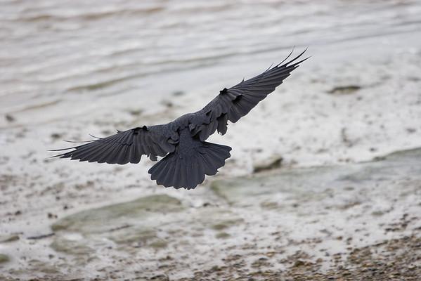 Raven landing on a beach