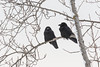 Two ravens on a branch along the Moose River in Moosonee.