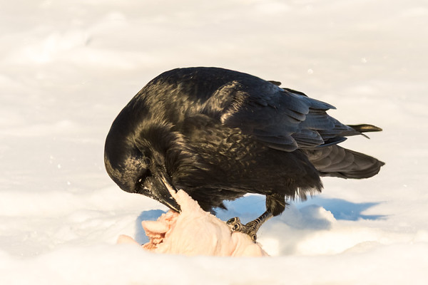 Raven eating chicken on the roof.