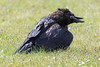 Raven sitting in the grass. Head twisted.