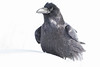 Raven sitting on snow. Body mostly out of focus.p