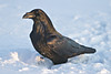 Common Raven walking in snow