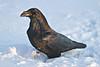 Common Raven walking in snow