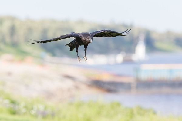 Raven coming in to land.