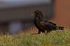 Raven walking in grass