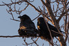 Two ravens in a tree at sunrise in Moosonee 2018 January 18th.