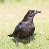 Raven on grass, head turned.